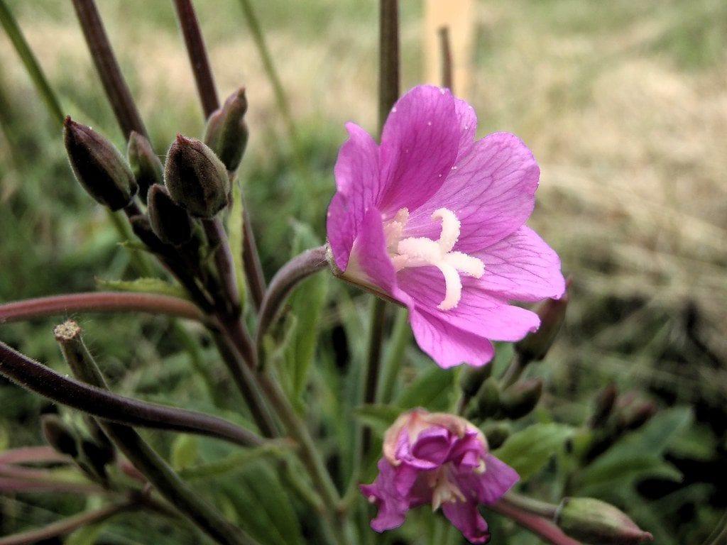 Las flores del epilobio son rosadas