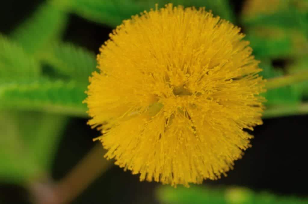La flor de la Acacia farnesiana es amarilla