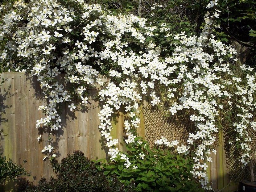 flores blancas que trepan a través de un muro de madera