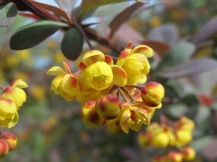 Las flores del berberis son pequeñas