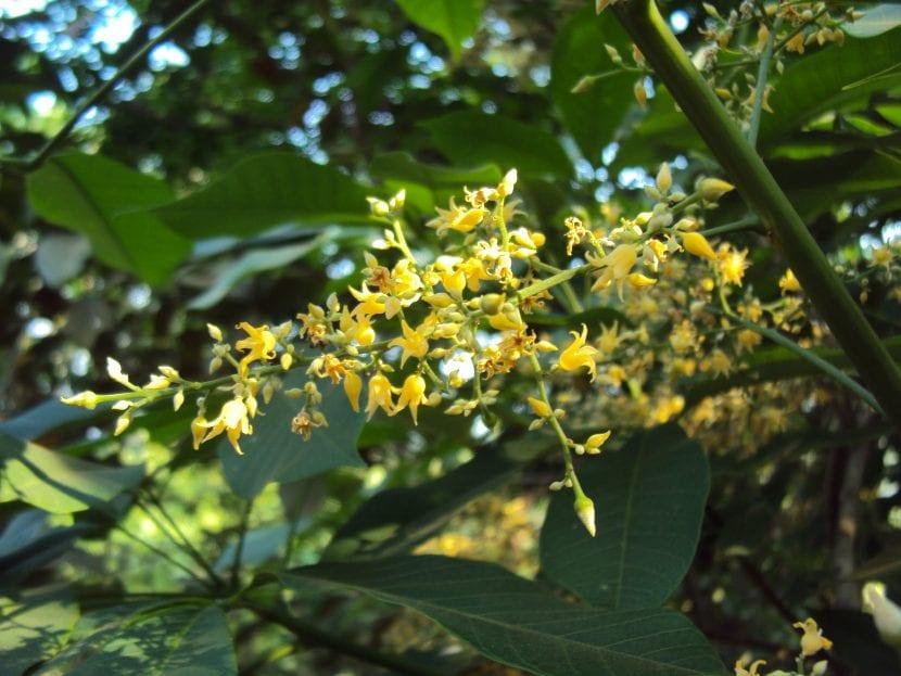 Vista de las flores de la Hevea