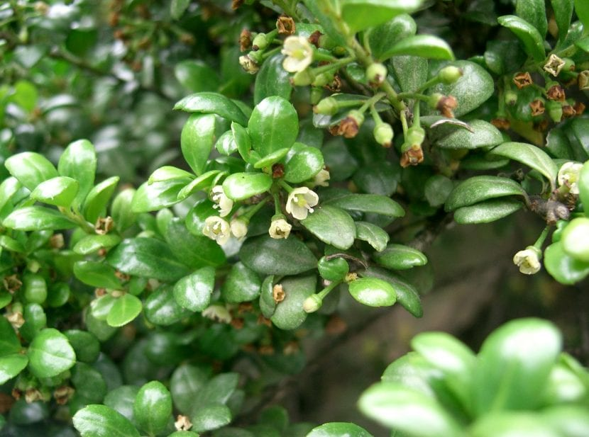 Vista de las flores del Ilex crenata