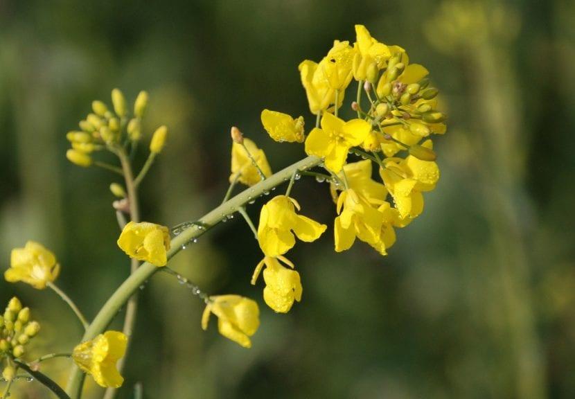 Las flores de la Brassica napus son amarillas