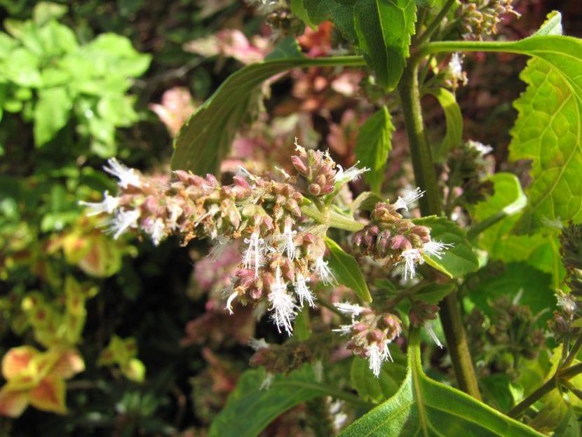 Las flores del pachuli son pequeñas