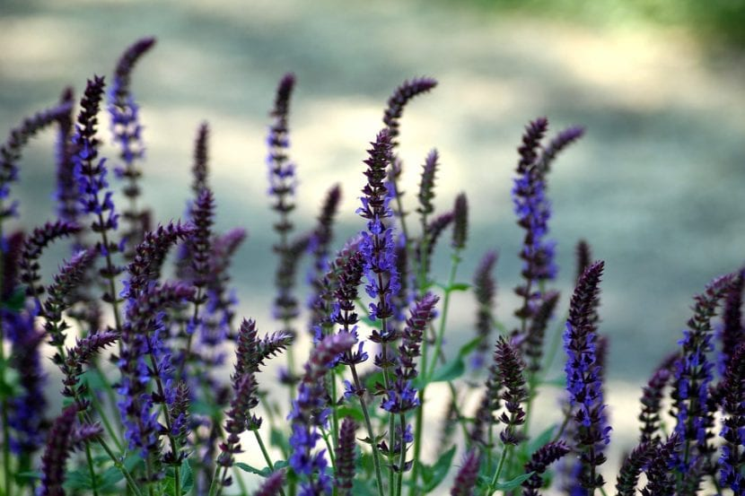 Las flores de la Salvia pratensis son violetas