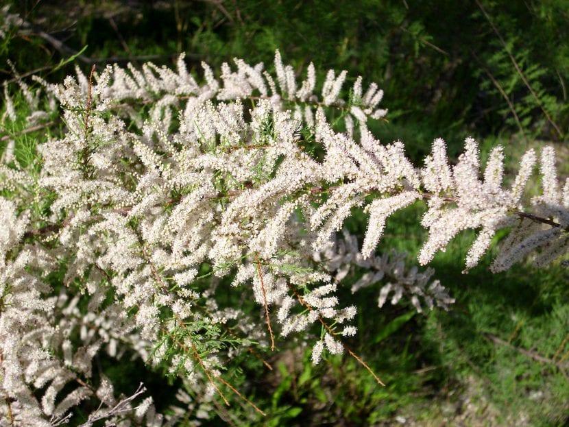 Las flores del Tamarix canariensis son blancas