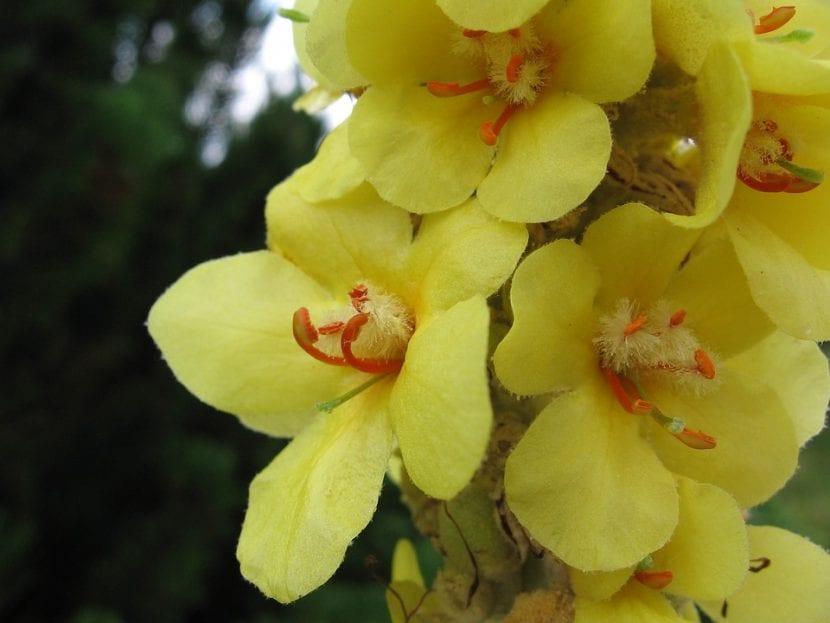 El Verbascum es una planta herbácea