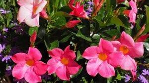 flores grandes y de color rojo-rosado