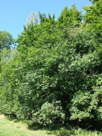 Vista de la Frangula alnus en hábitat