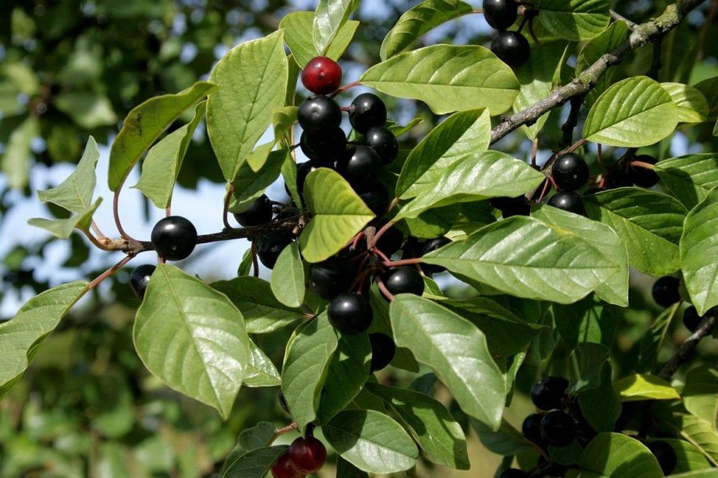 Los frutos de la Frangula alnus son negros