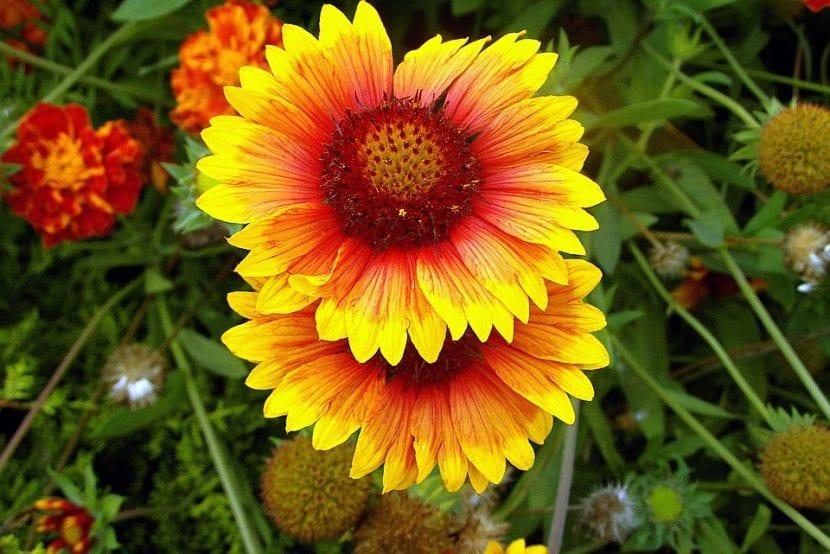 La Gallardia es una flor muy bonita
