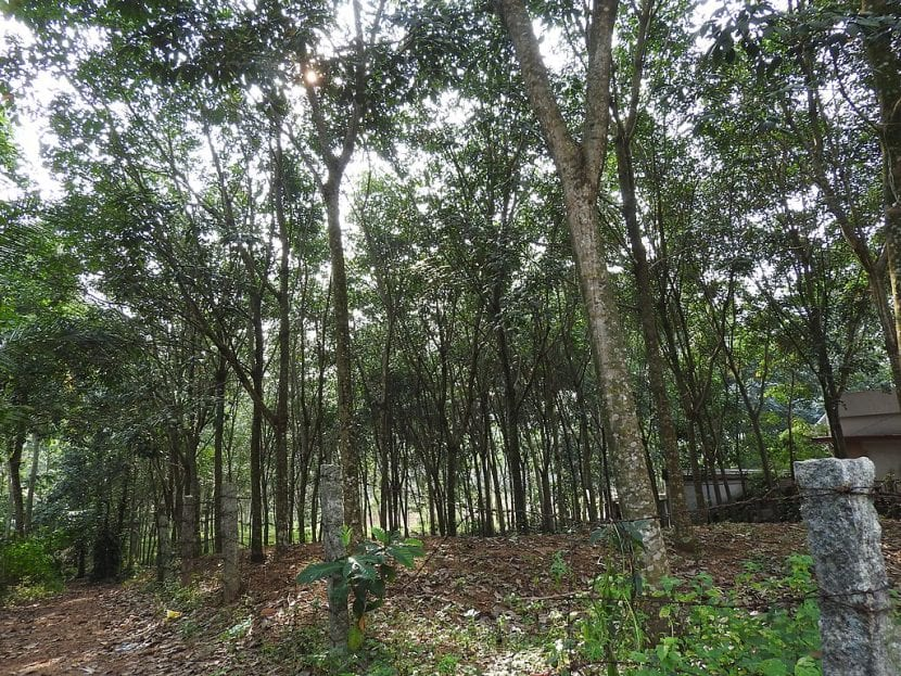 Plantación de Hevea brasiliensis en hábitat