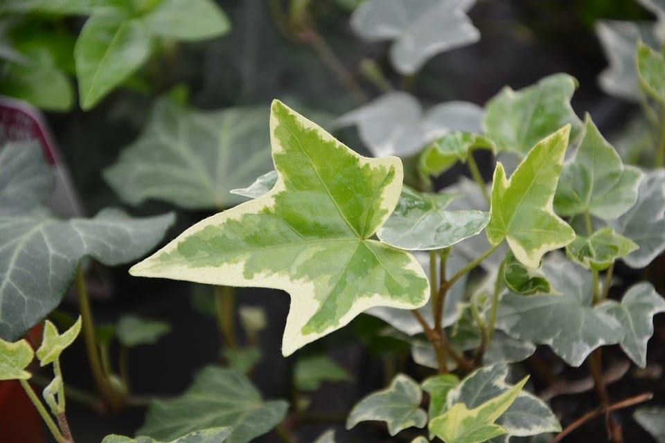 La hiedra puede tener las hojas variegadas
