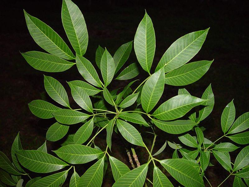 Las hojas de las Hevea son grandes