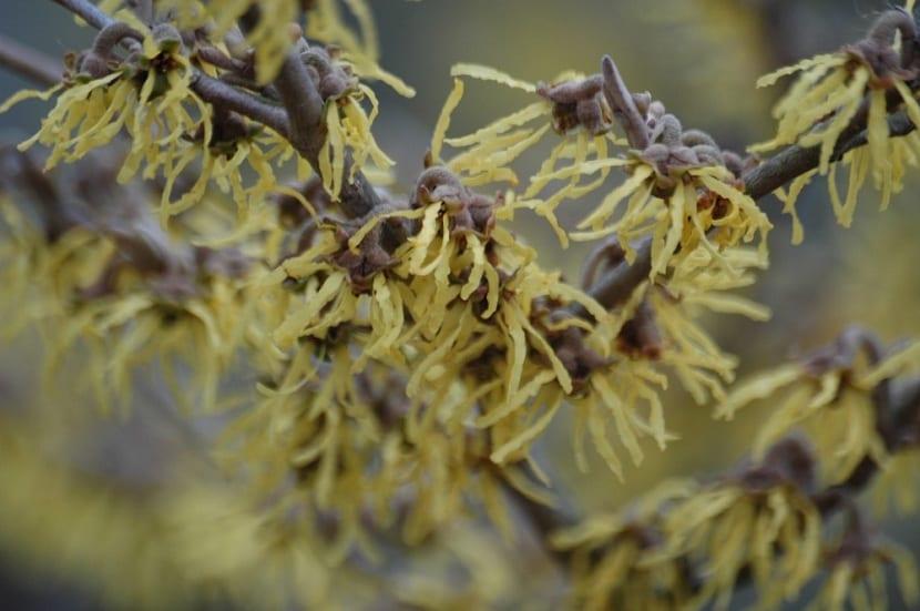 hojas de la hamamelis virginiana