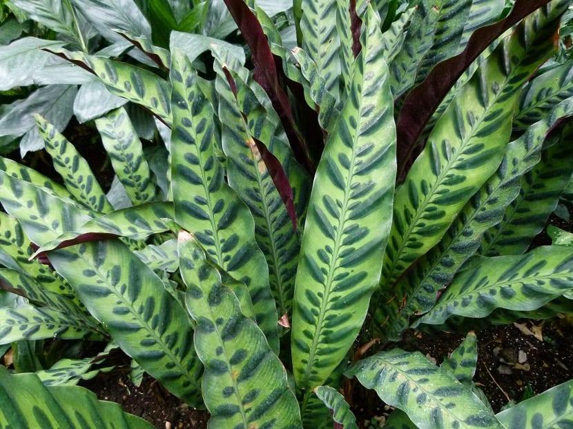 hojas verdes y lanceadas de la Calathea lancifolia