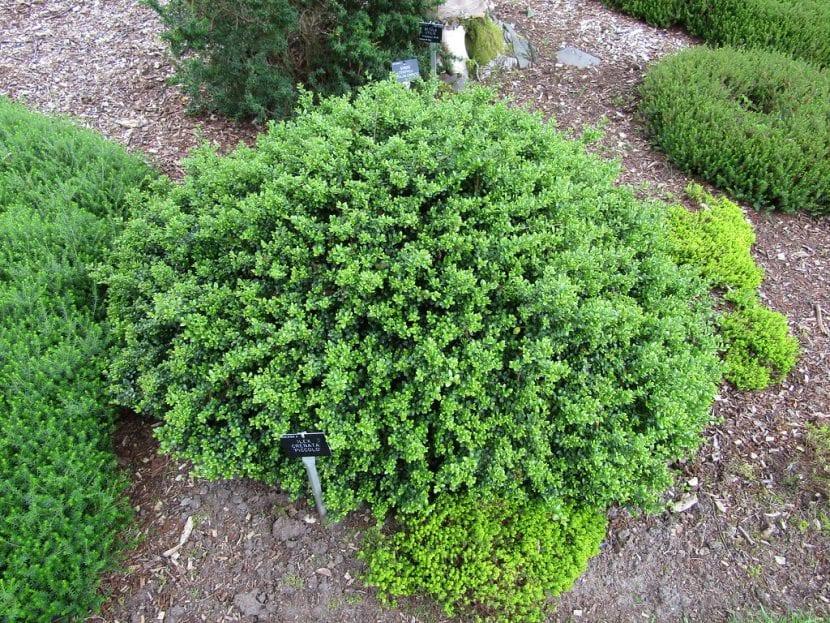 Vista del Ilex crenata en un jardín