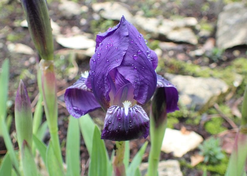 El Iris lutescens es una bulbosa