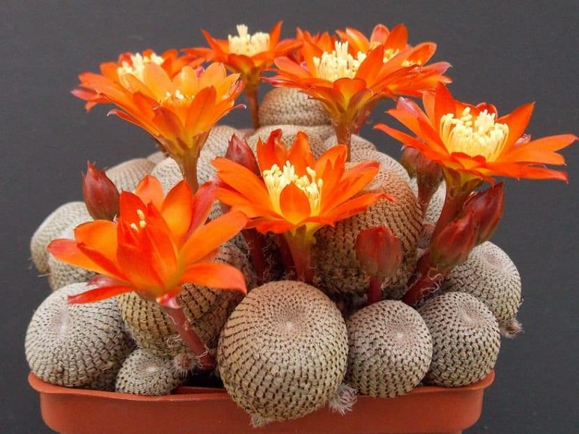 maceta con pequenos cactus con flores naranjas