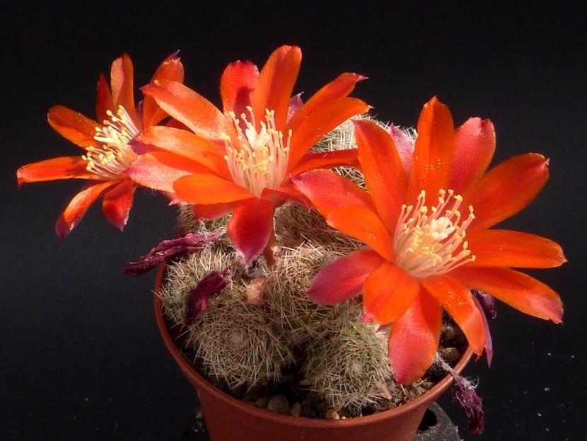 maceta con pequenos cactus y grandes flores