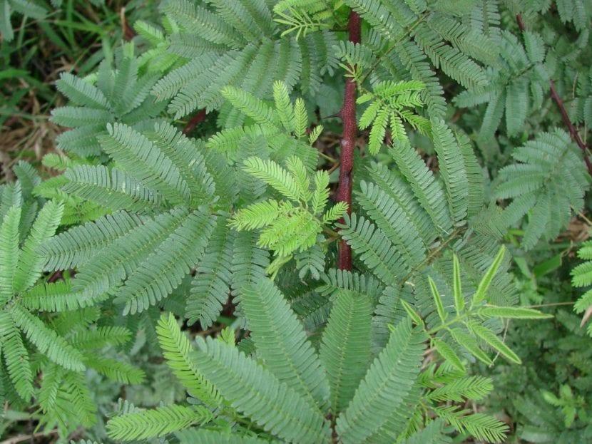 Las hojas de la Mimosa hostilis son verdes