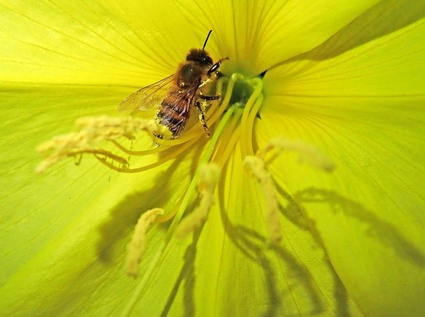 La flor de la onagra es amarilla