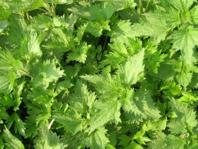 La ortiga es una planta con muchos usos