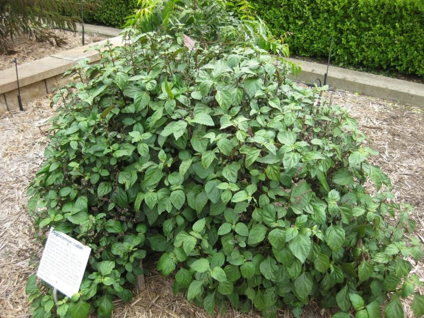 Vista del pachuli en un jardín