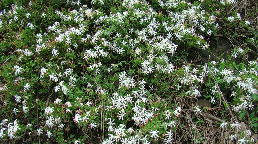 planta llena de flores blancas