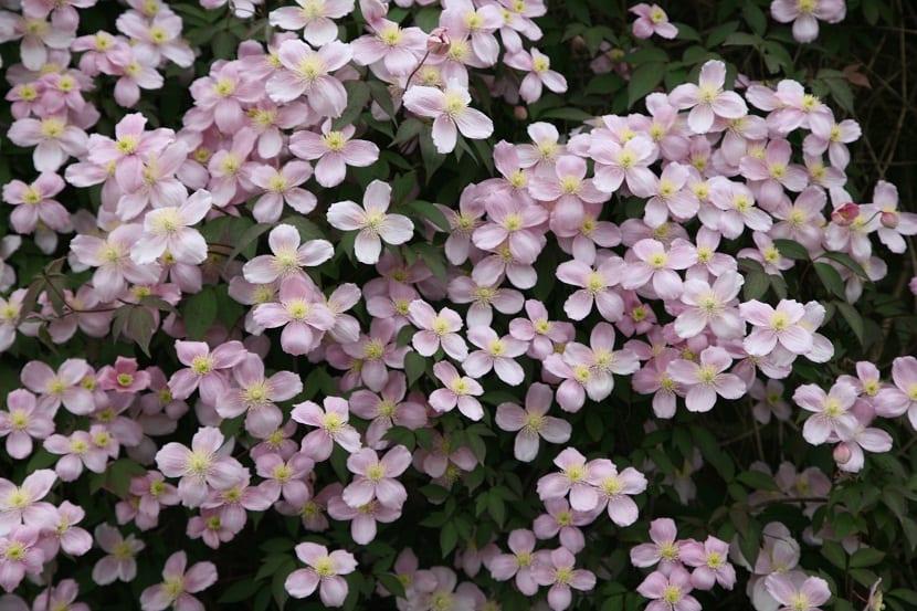 planta llena de florecitas rosas