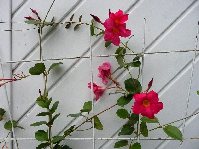 planta trepadora con flores rojas