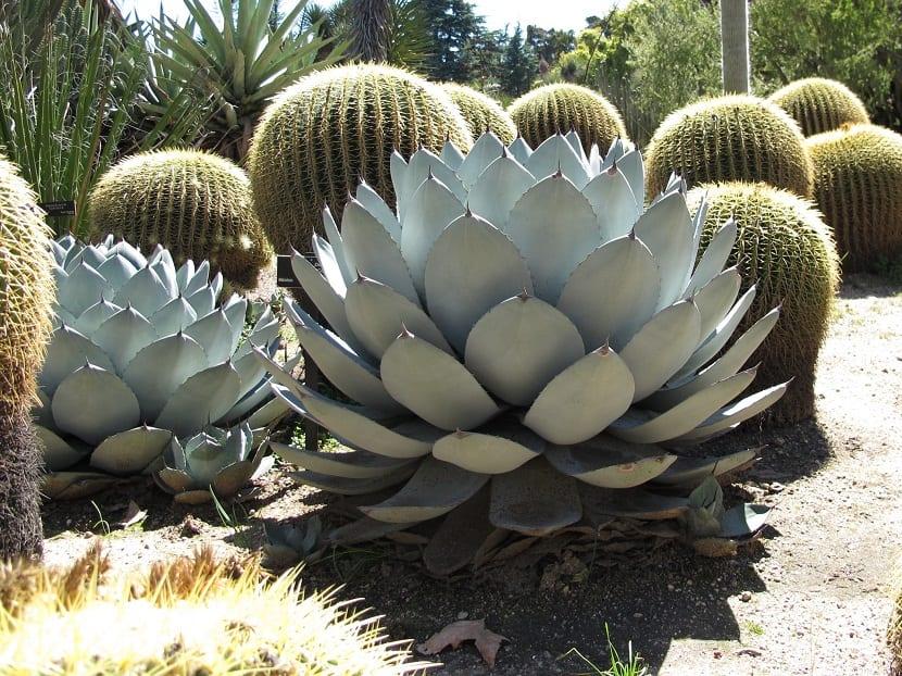 Agave parryi planta típica del desierto americano