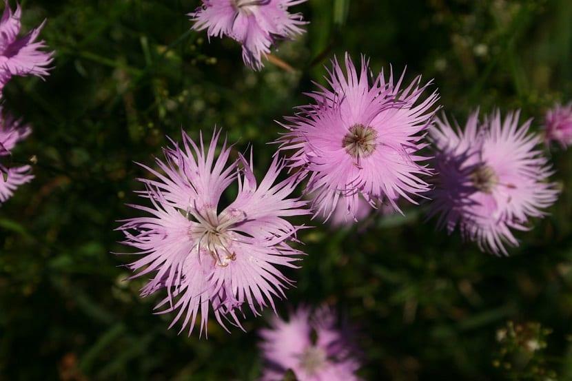 Preciosas flores de color rosa chicle llamadas Dianthus hyssopifolius