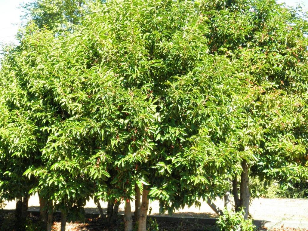 Vista del Prunus lusitanica en jardín