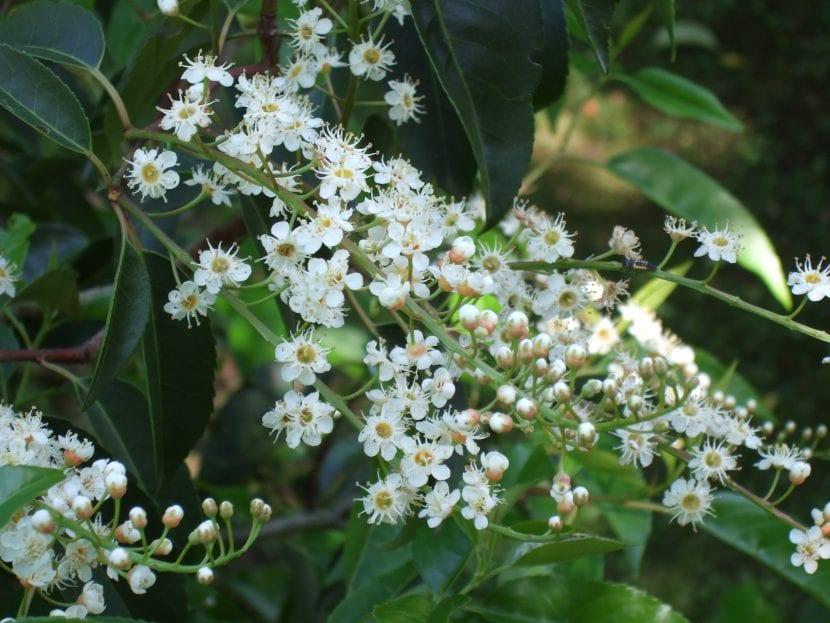 Las flores del Prunus lusitanica son blancas