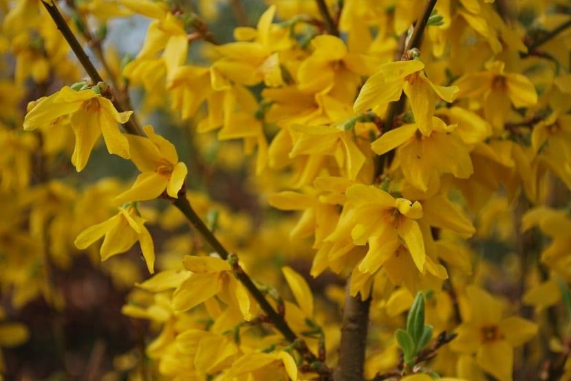 ramas con flores amarillas llamada Forsythia intermedia