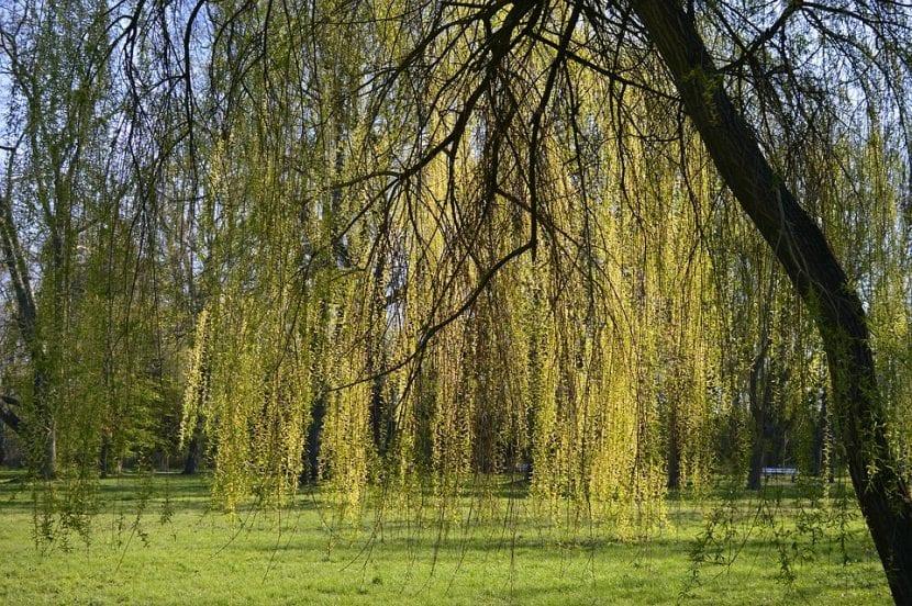 El Salix es un árbol grande