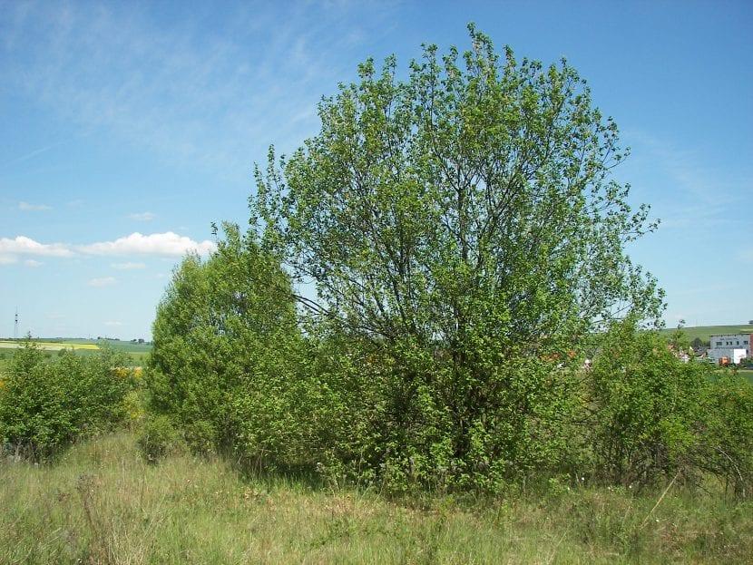 Vista del Salix caprea