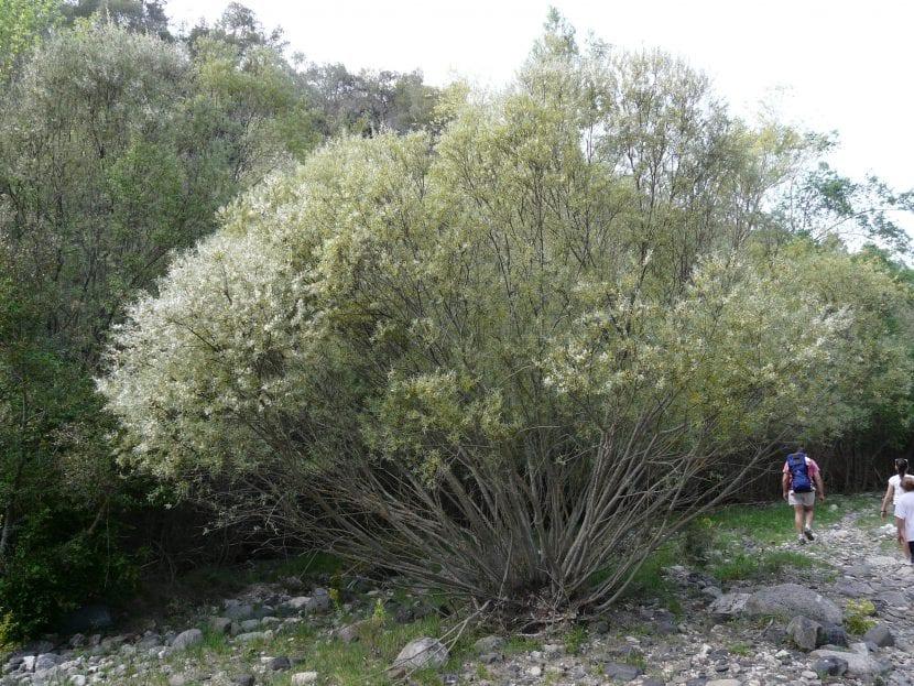 Vista del Salix eleganos
