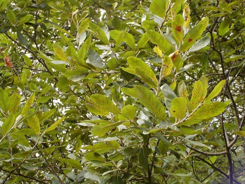 Vista del Salix purpurea