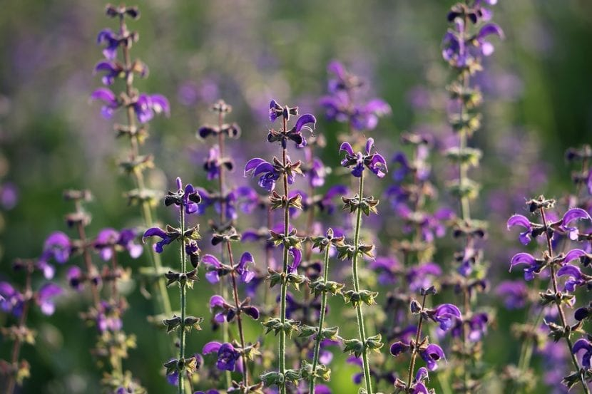 La Salvia pratensis es una planta muy bonita