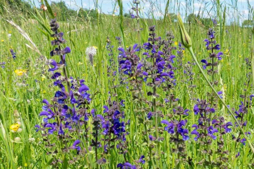 Vista de la Salvia pratensis en hábitat