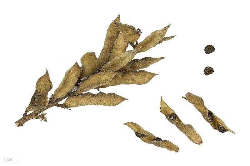 Las semillas de altramuz azul son redondeadas