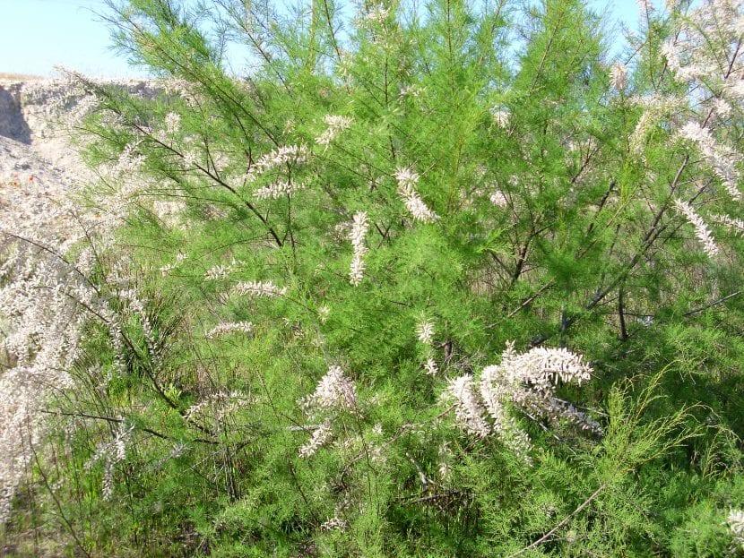 Vista del Tamarix canariensis en hábitat