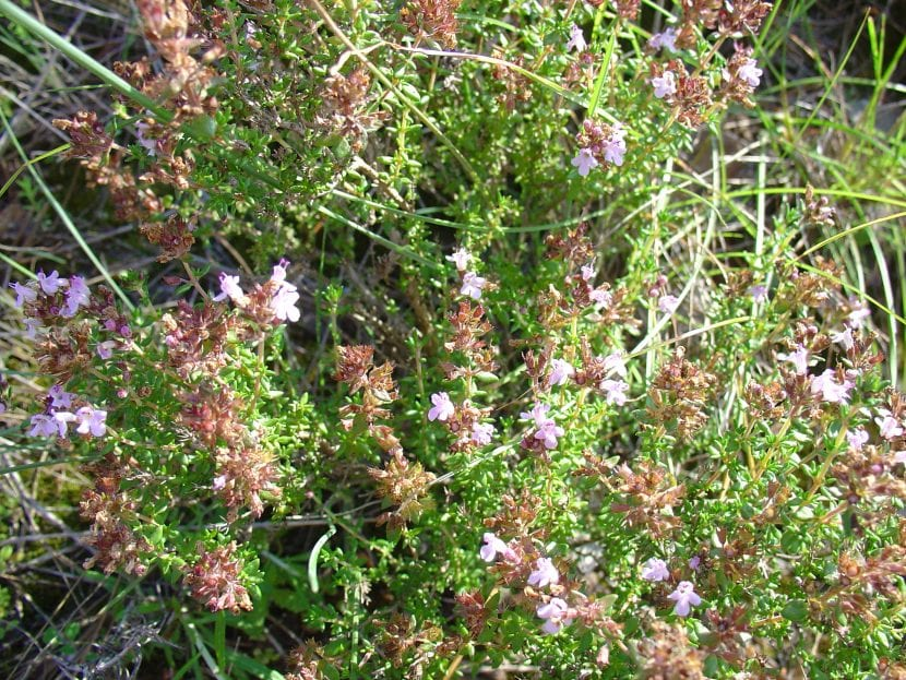 Vista del Thymus hyemalis