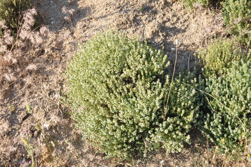 Vista del Thymus zygis