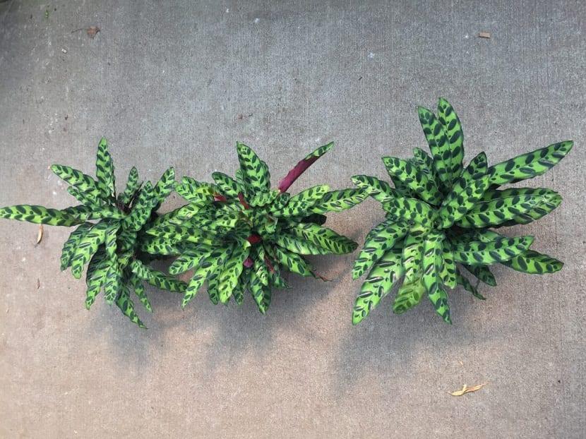 tres macetas con plantas y hojas lanceadas