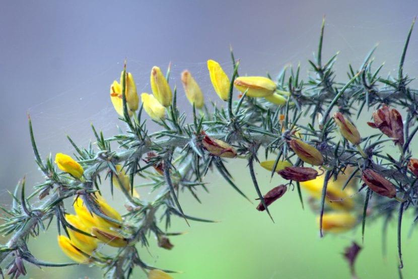 Vista del Ulex cantabricus