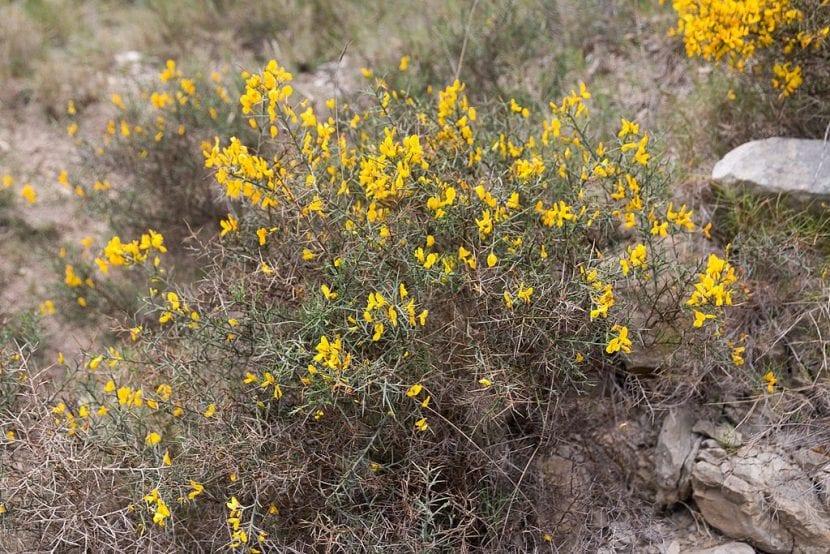 El Ulex minor es un arbusto pequeño