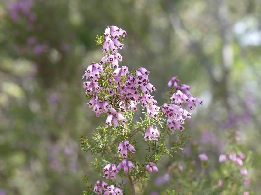 flores que nacen de las ramas de la Erica australis